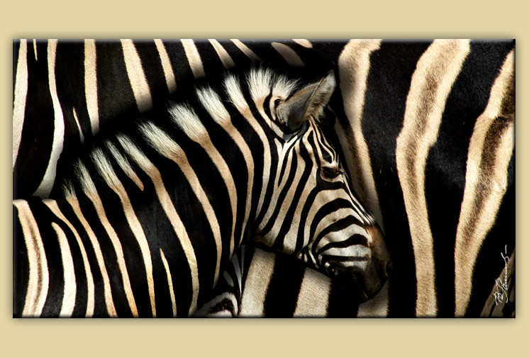 zebra afrika bild leinwand bilder wandbild tier ebay. Black Bedroom Furniture Sets. Home Design Ideas